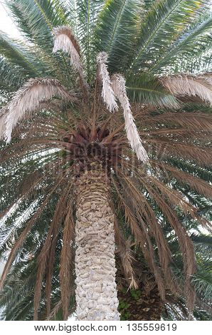 Palm Tree with Green and Brown Leaves Closeup