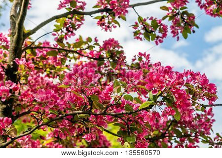 Beautiful red pink and purple flowers of crab apple tree with the botanical name of Malus purpurea Eleyi. Shallow depth of field.