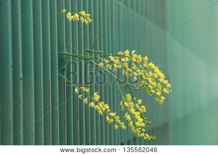 yellow flower peering from green metal fence. narrow dept of field focus