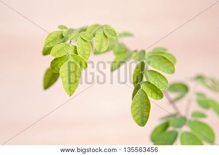 Moringa (Other names are Moringa oleifera Lam. MORINGACEAE Futaba kom hammer vegetable hum Moringa hum bug Moringa bug Hoo) leaf on wooden board background