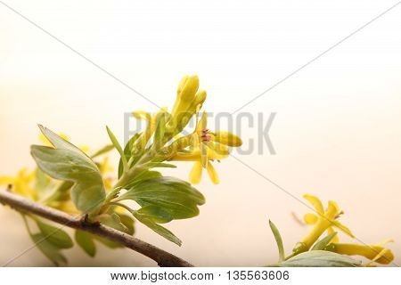 Some Blossoms Of The Golden Currant (ribes Aureum)