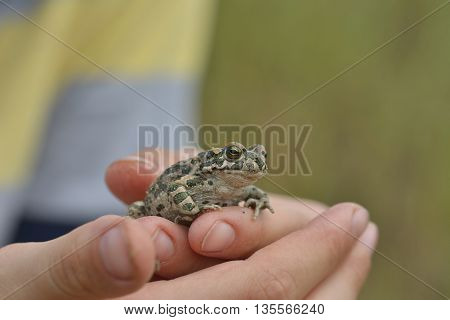 Green toad (Bufo viridis) held in the hand