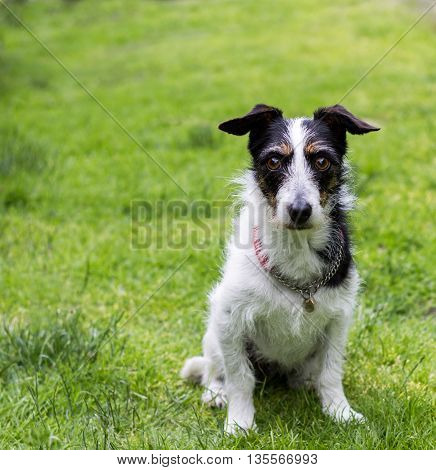 Jack Russell terrier cross dog sitting obediently on grass. Mans best friend. Copy space.