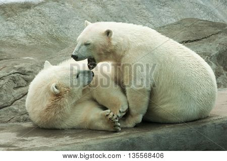 Two big polar bear cubs playing outdoors