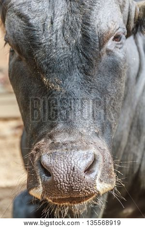 close up of cow's head