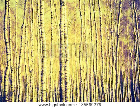 Vintage Photo Of Birch Tree Trunks