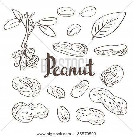 Peanuts kernels and leaves. Hand-drawn vector illustration
