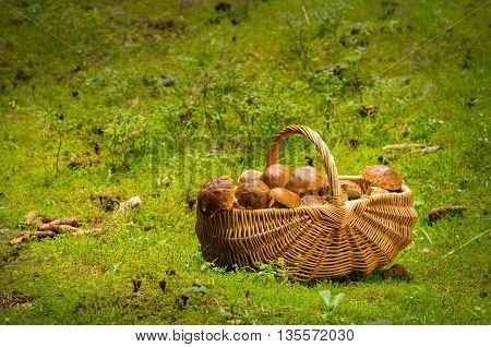 Basket Full Of Mushrooms. Bboletus Edulis.