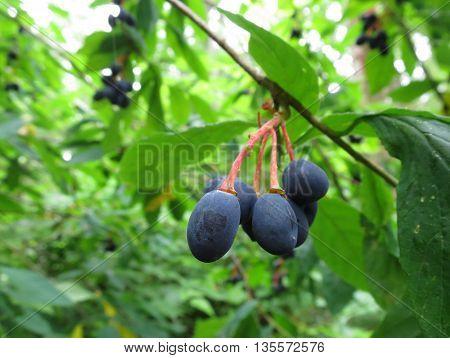 Indian Plum Fruit (Oemieria cerasiformis) in the forest