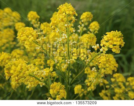 Macro Of The Blossoms Of Herb Barbara (barbarea Vulgaris)