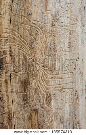 aged texture of a tree damaged by bark beetle