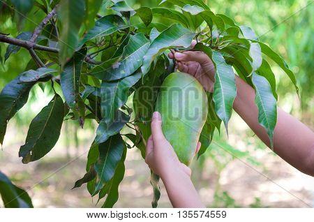 Hands of woman harvesting fresh green mango in nature fruit garden in Thailand