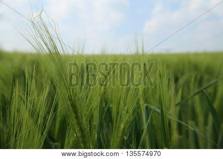 Wide Angle Macro Shot Of Rye Field