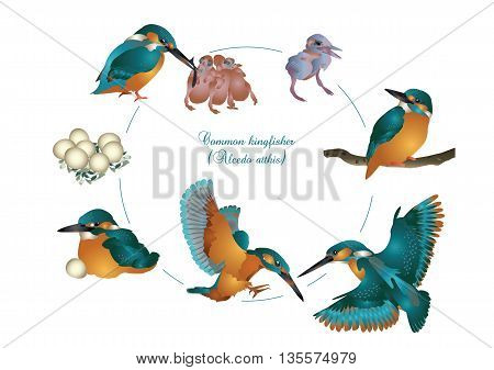 It is illustration of life cycle of kingfisher.