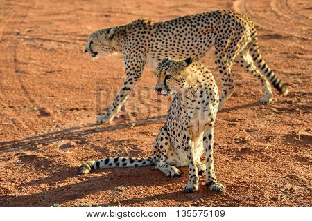 Wild Cheetahs In the Kalahari desert at sunset. African Savannah Namibia. Warm evening light