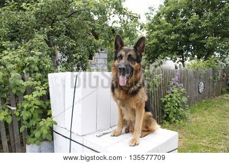 Dog German Shepherd In A Summer Day