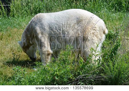 A polar bear in the green grass