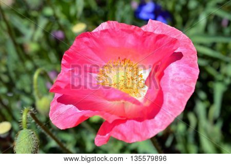 Pink Poppy Flower in Bloom on Sunny Day
