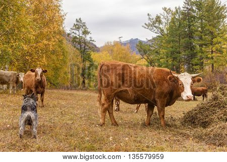 herd of cows and a dog in the autumn meadow
