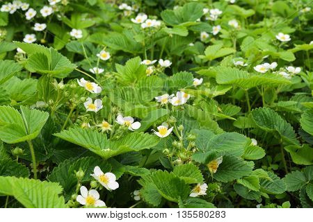 strawberry blossoms in the garden in early summer