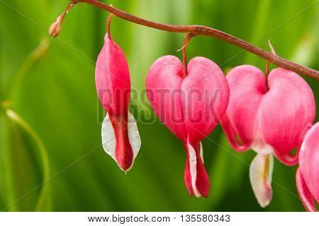 a pink flowers broken heart (Dicentra) close-up