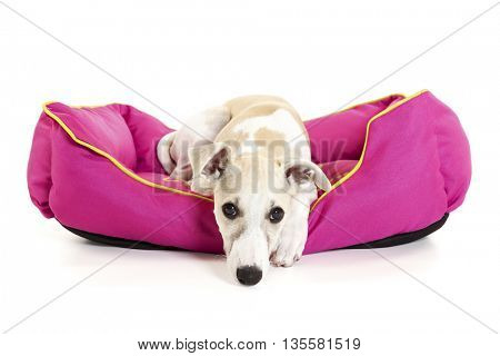 Sad Whippet puppy lying in pink dog bed isolated on white background