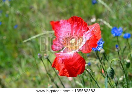 Colorful Poppy Flower in Full Bloom in Field