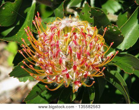 Protea, Kirstenbosch Botanical Gardens, Cape Town South Africa 60