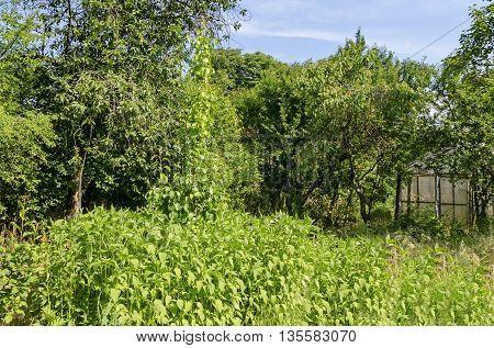 Spring tuber or Jerusalem artichoke and greenhouse in the vegetable garden, Zavet, Bulgaria