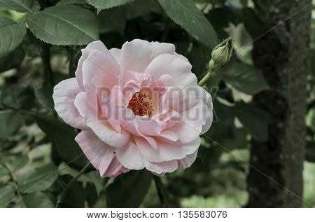 Pink rose bush in bloom at natural outdoor garden, Sofia, Bulgaria