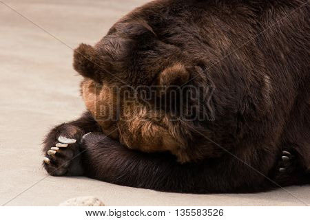 Big brawn grizzly bear sleeps in outdoor