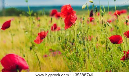 Red poppy on the green field with wheat.