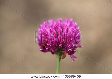 Flowers of a zigzag clover (Trifolium medium)