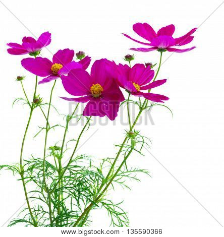 Cosmos fresh dark pink flowers isolated on white background