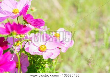 Summer green field with pink fresh cosmos flowers