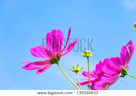 Summer sky with pink fresh cosmos flowers