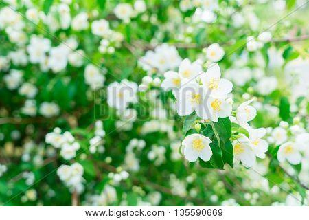 Jasmine fresh flowers and leaves border blooming tree