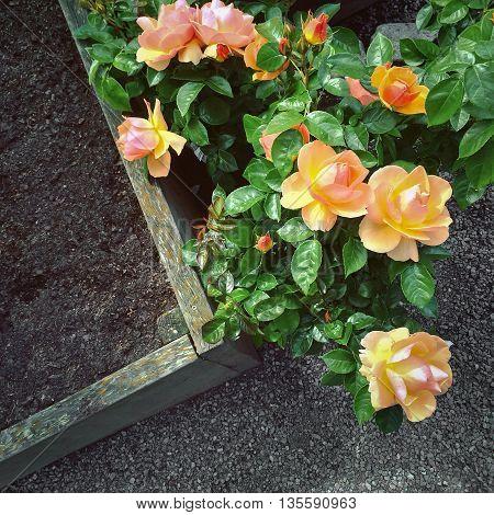 Beautiful Hybrid Tea roses in the summer garden.