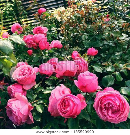 Blooming pink antique style roses in the summer garden.
