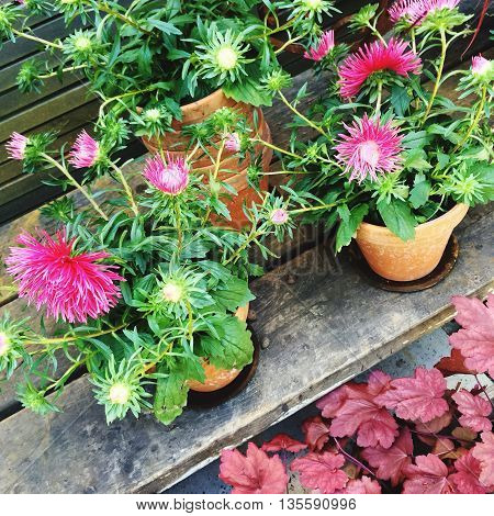 Blooming pink asters in clay pots. Summer garden.