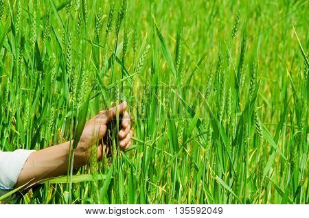 Closeup of hand grabbing tall grass plants, beautiful green colored grassy background.