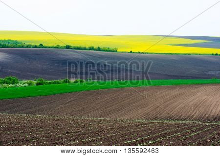 Agricultural land with colza and young wheat and young sunflower.