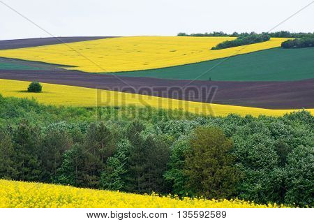 Fields sown with cereals. Agricultural land with colza and young wheat.