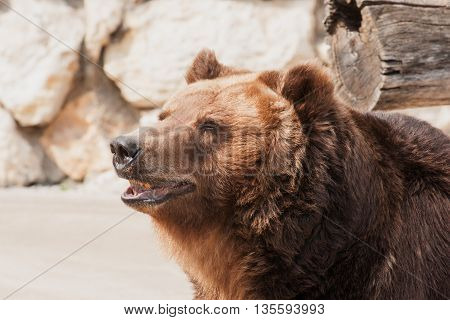 Big brawn grizzly bear looking away in outdoor