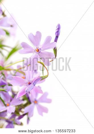 Small lilac flowers on a light white background. Close up small depth of sharpness copyspace right