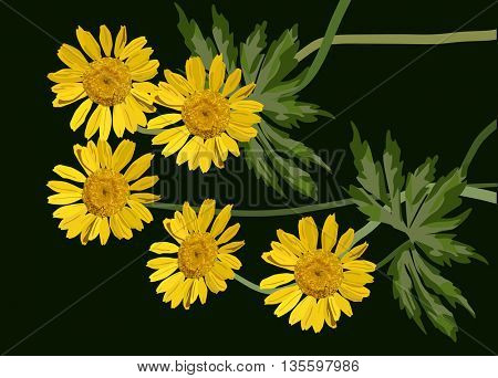 illustration with group of coltsfoot flowers isolated on black background