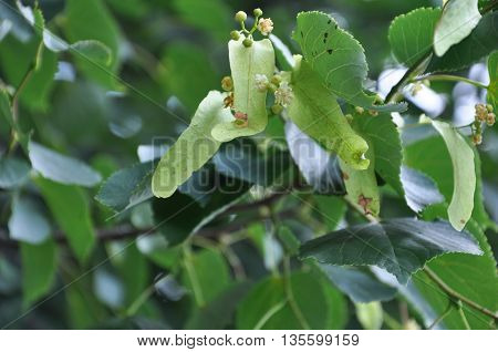 Linden flowers in green foliage on the branch