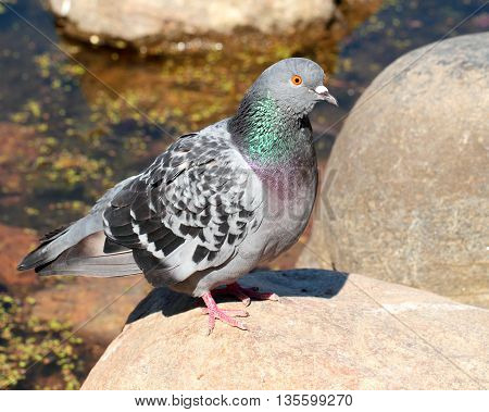 Rock pigeon sitting on the stone over the water background