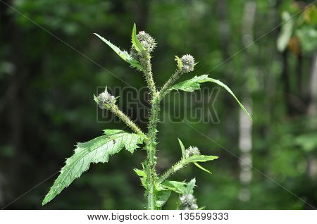 ants crawling on the top of a Thistle