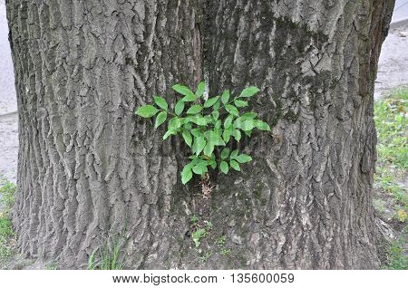 a small tree, symbiosis on the trunk of an oak tree